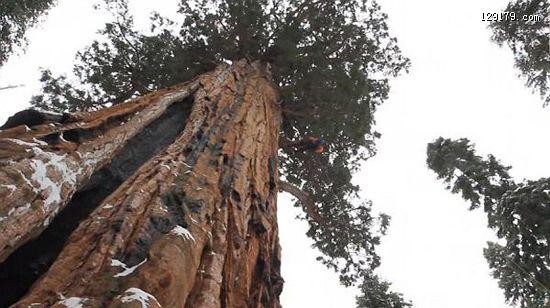 世界上最大的树树龄高达3200岁